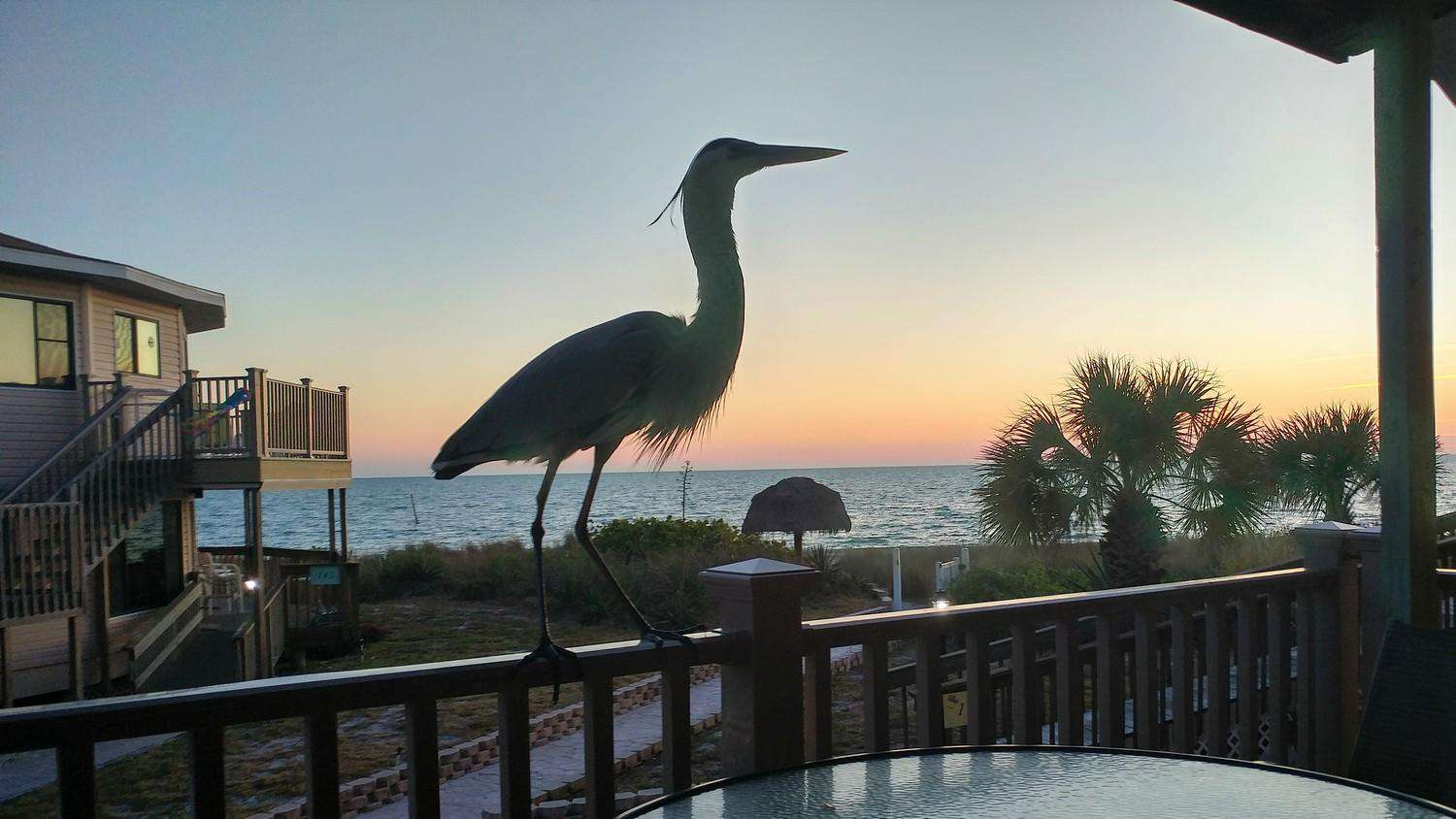 Great Blue Heron on the Patio