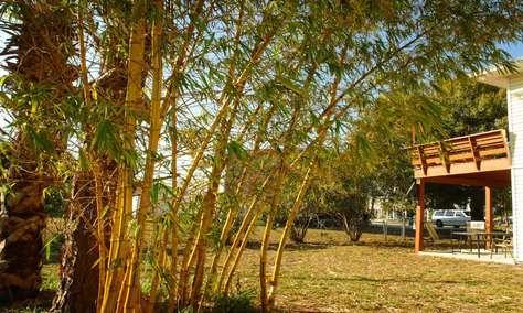 Huge Bamboo in the Garden