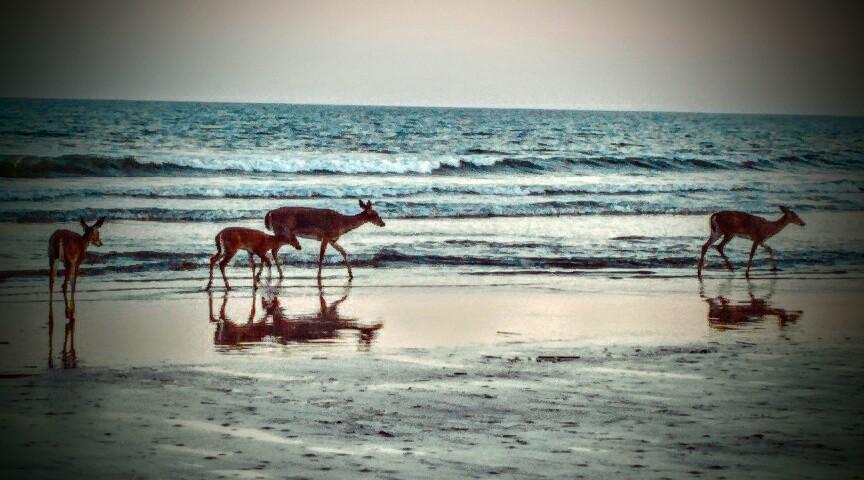 Deer on the Beach