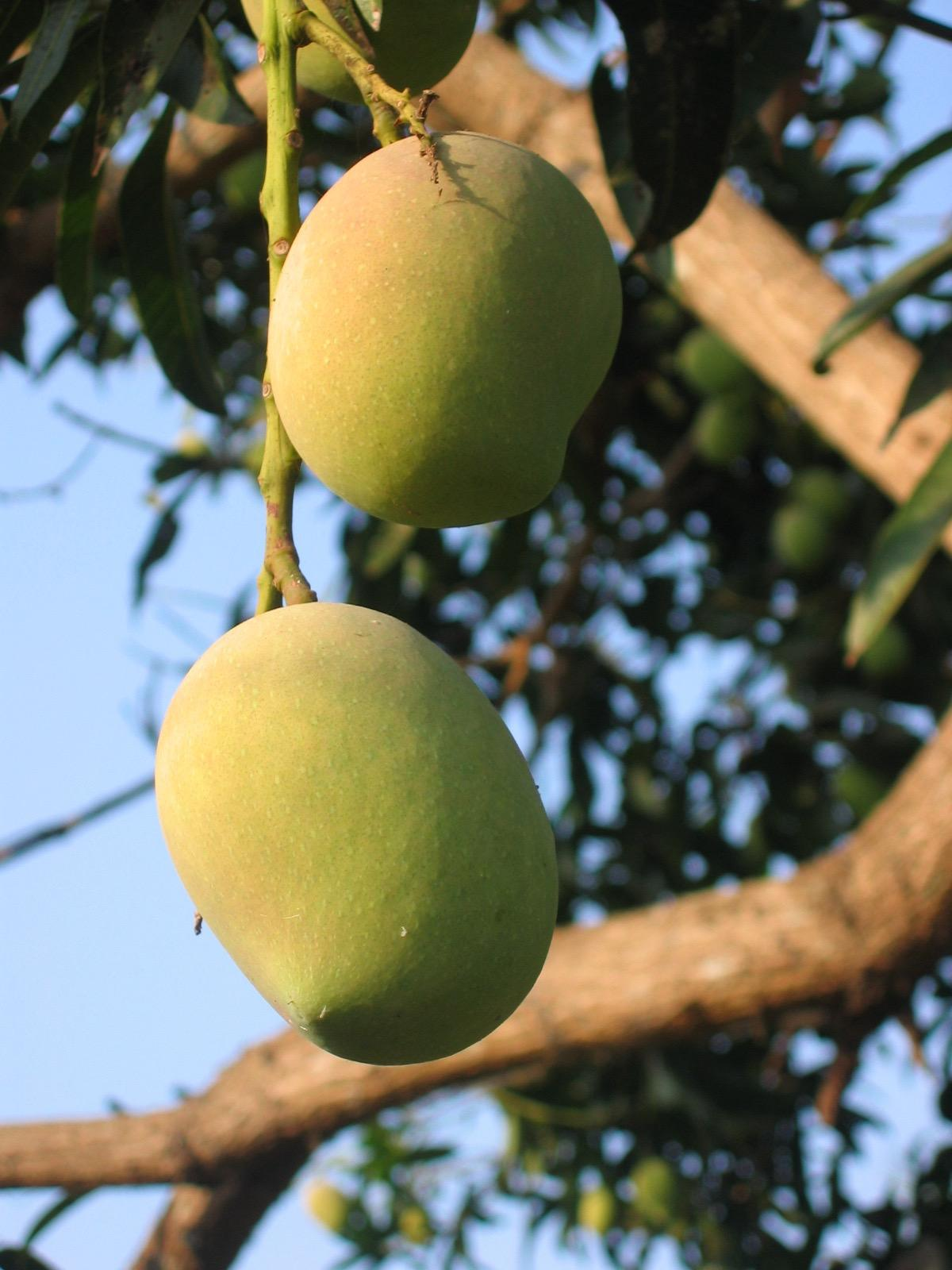 Organic mangos are for our guests, direct from our tree