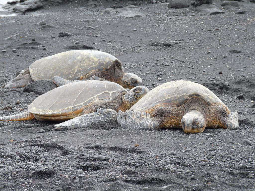 Visit Black Sand Beach and see the huge sea turtles napping in the sun.