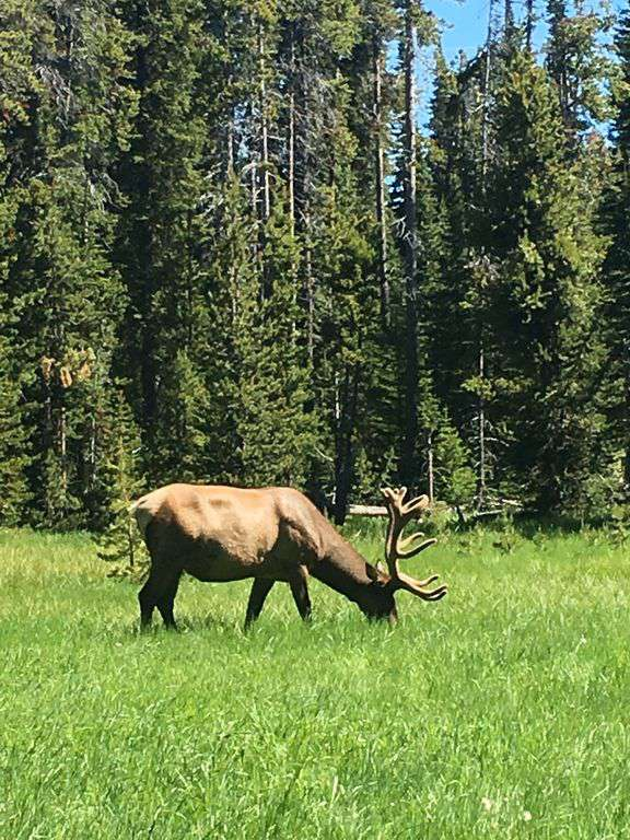 Elk roam all over Mammoth