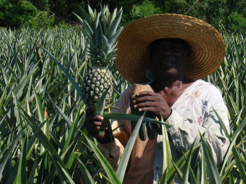 The best pineapples in the world come from Eleuthera!