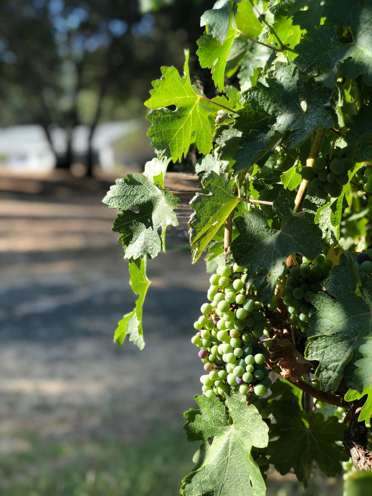 Cabernet Vineyard on Property