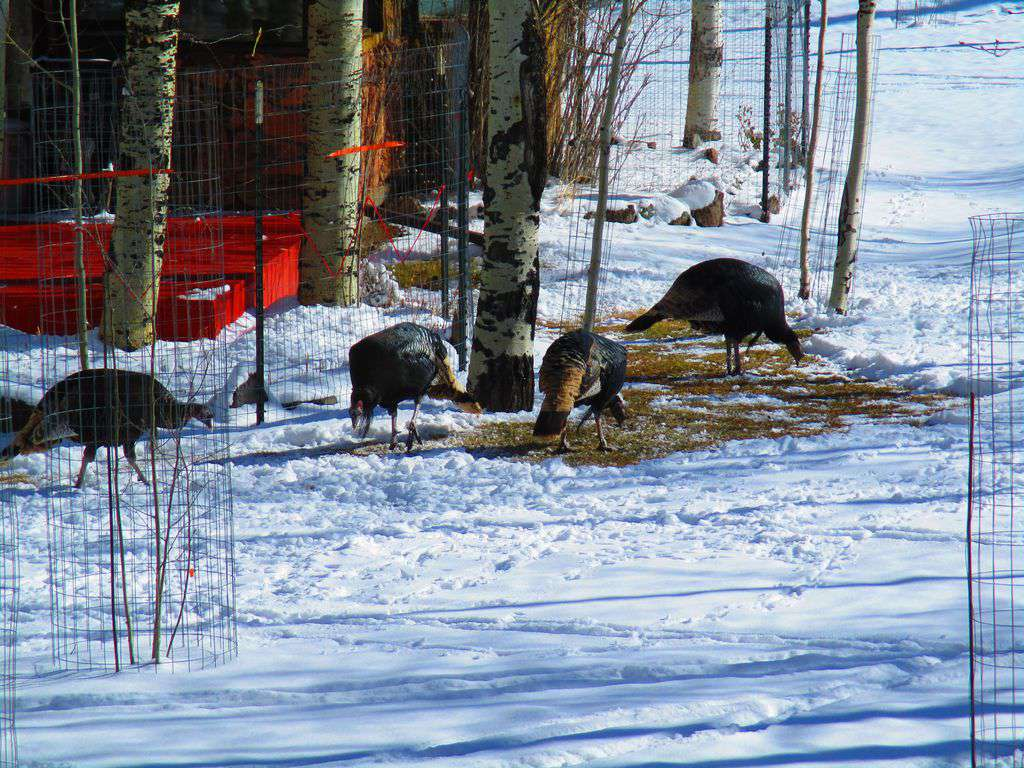 Wildlife Winter Wild Turkeys