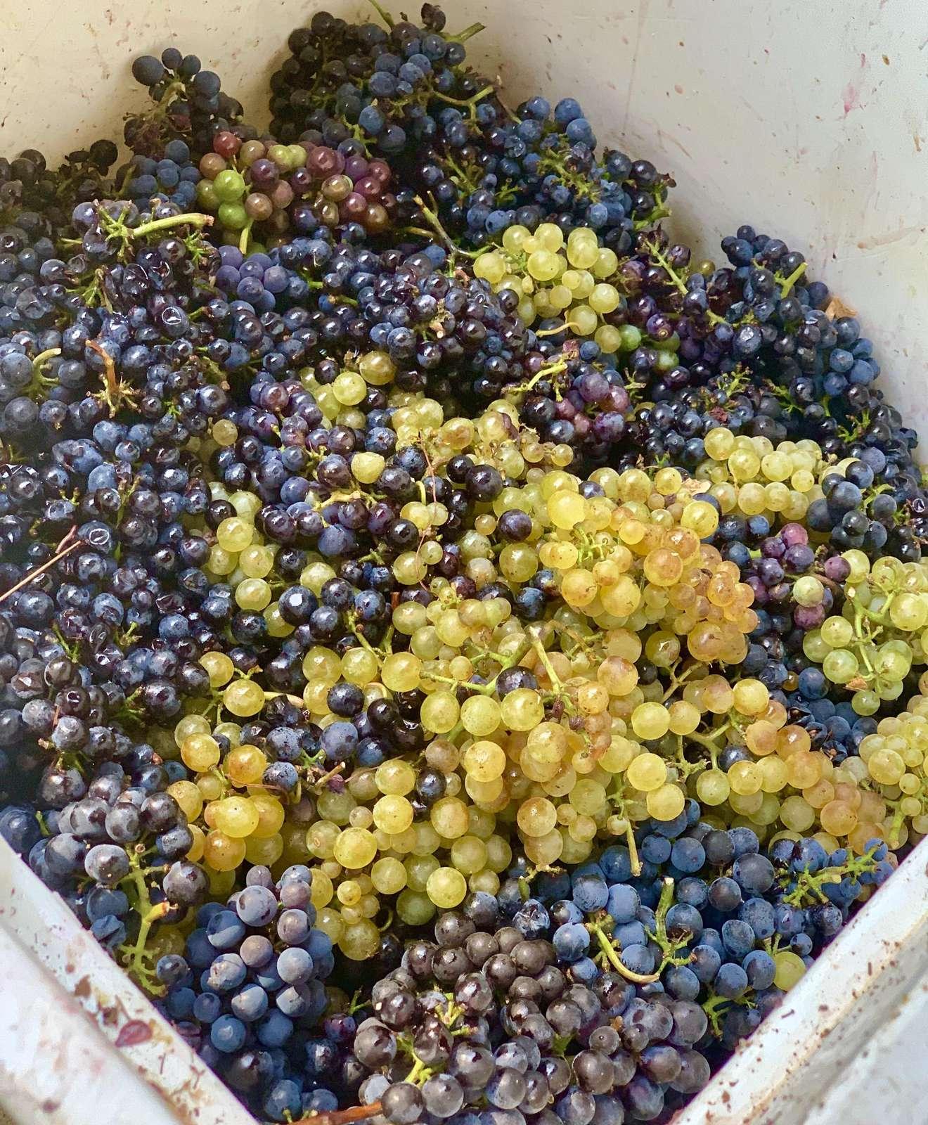 Freshly picked grapes ready for the de-stemmer