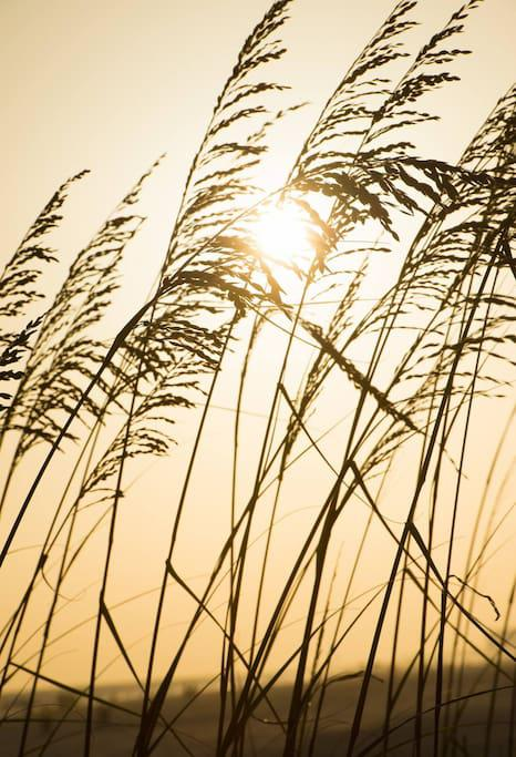 Golden Sea Oats in the afternoon!
