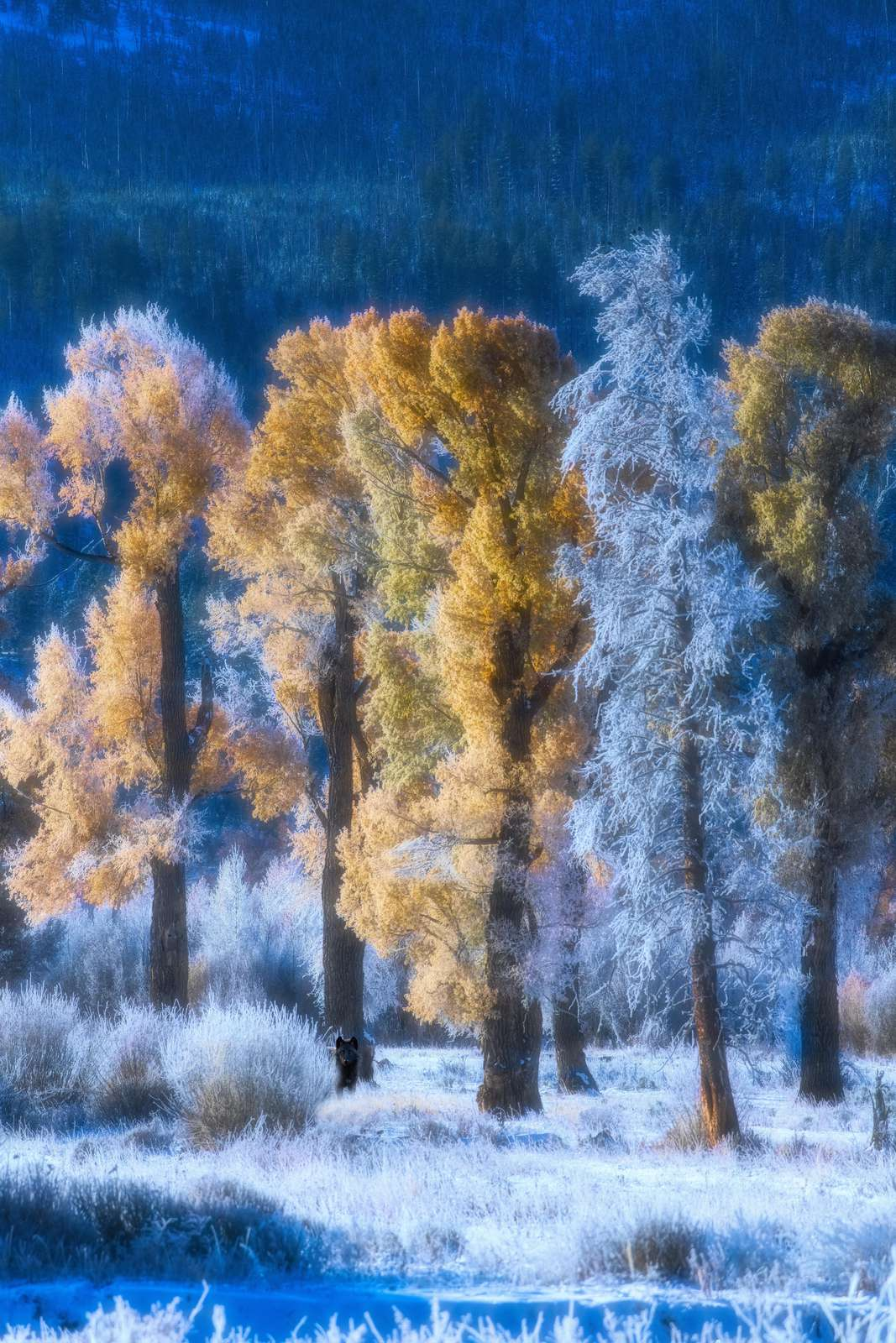A wolf, frost and cottonwoods