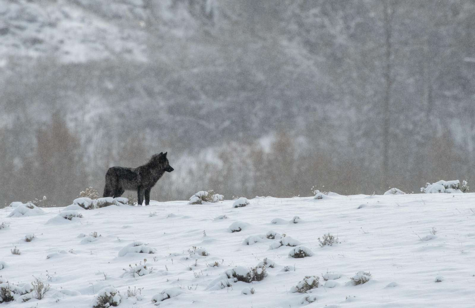 Black wolf pup in early snow